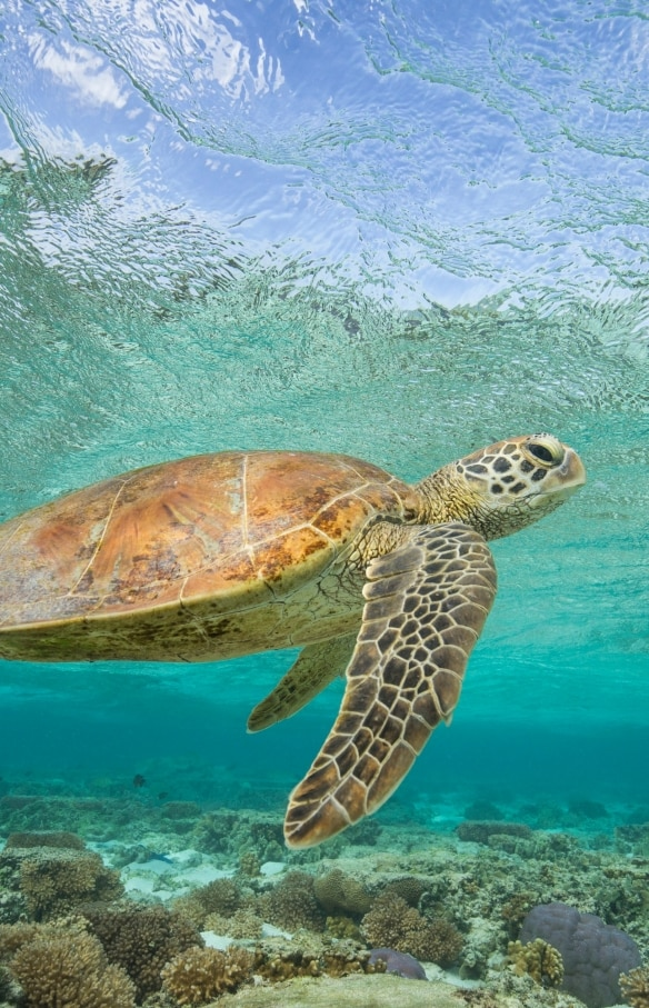 Turtle swims above reef off the coast of Lady Elliot Island © Sean Scott Photography