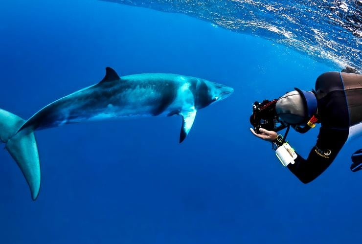 Minke whale, Mike Ball Dive Expeditions, Cairns, QLD © Shae Callaghan