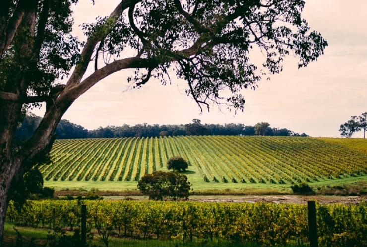 Vineyards, Margaret River region, WA © Mark Boskell, Elements Margaret River