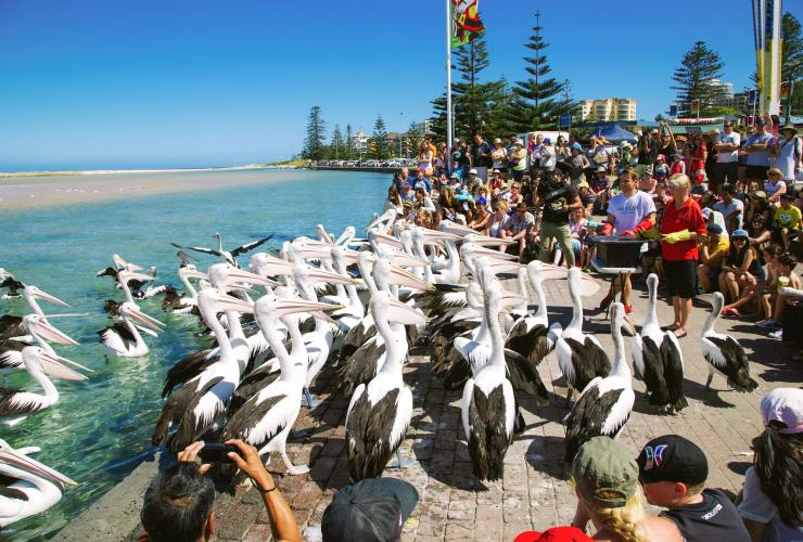 Pelican feeding, The Entrance, NSW © Sydney Work Travel Play