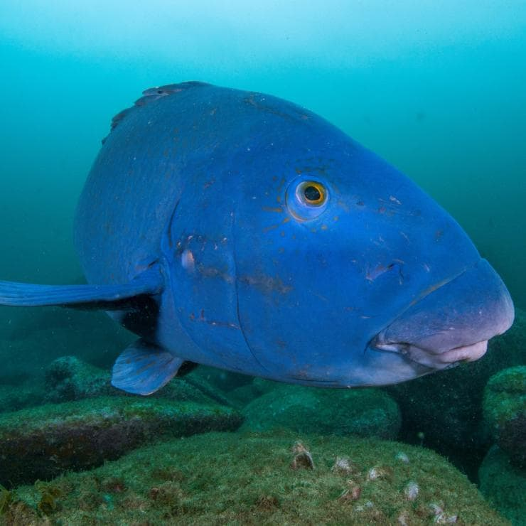 Blue groper, Shelly Beach, Manly, New South Wales © Destination NSW