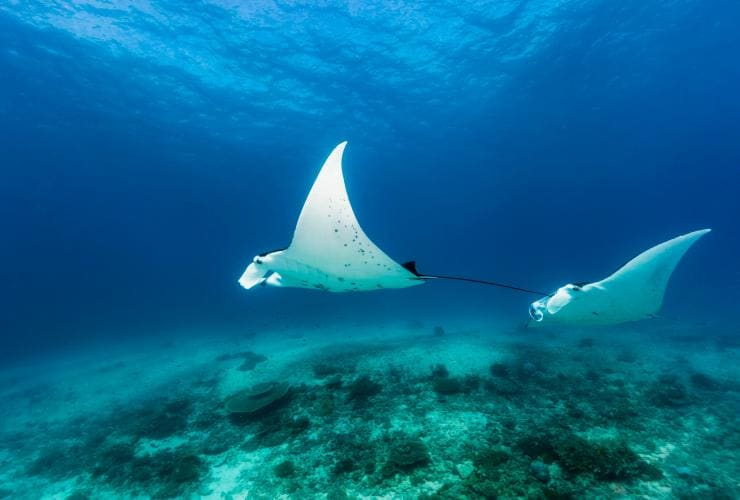 Manta rays, Lady Elliot Island, Southern Great Barrier Reef, QLD © Andrew Watson Photography, Tourism and Events Queensland