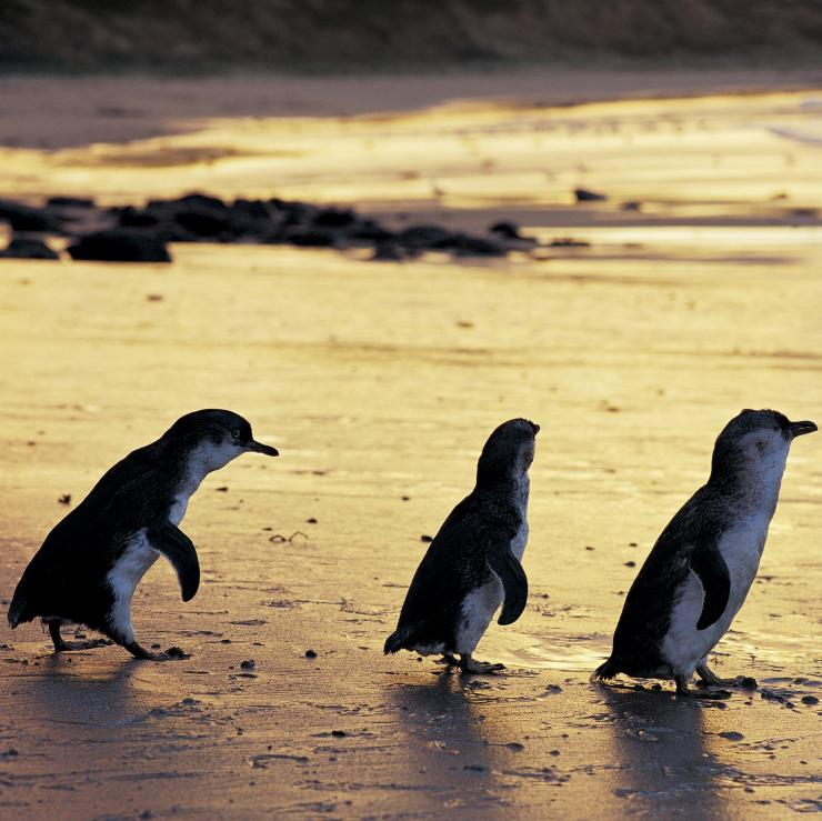 Little penguins on the beach at sunset at Phillip Island Nature Park © Phillip Island Nature Park