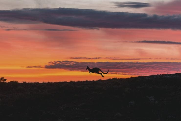 Kangaroo at sunset jumping through Arkaba in Flinders Ranges National Park in South Australia © South Australian Tourism Commission