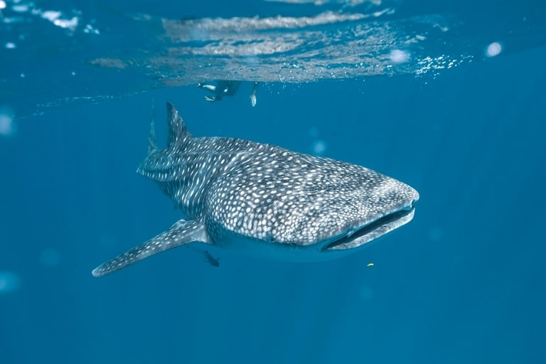 Whale shark swimming underwater near Exmouth in Western Australia © Tourism Australia