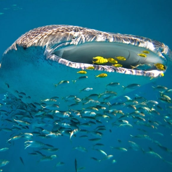 A whale shark in the waters of Ningaloo Reef © Luxury Lodges of Australia