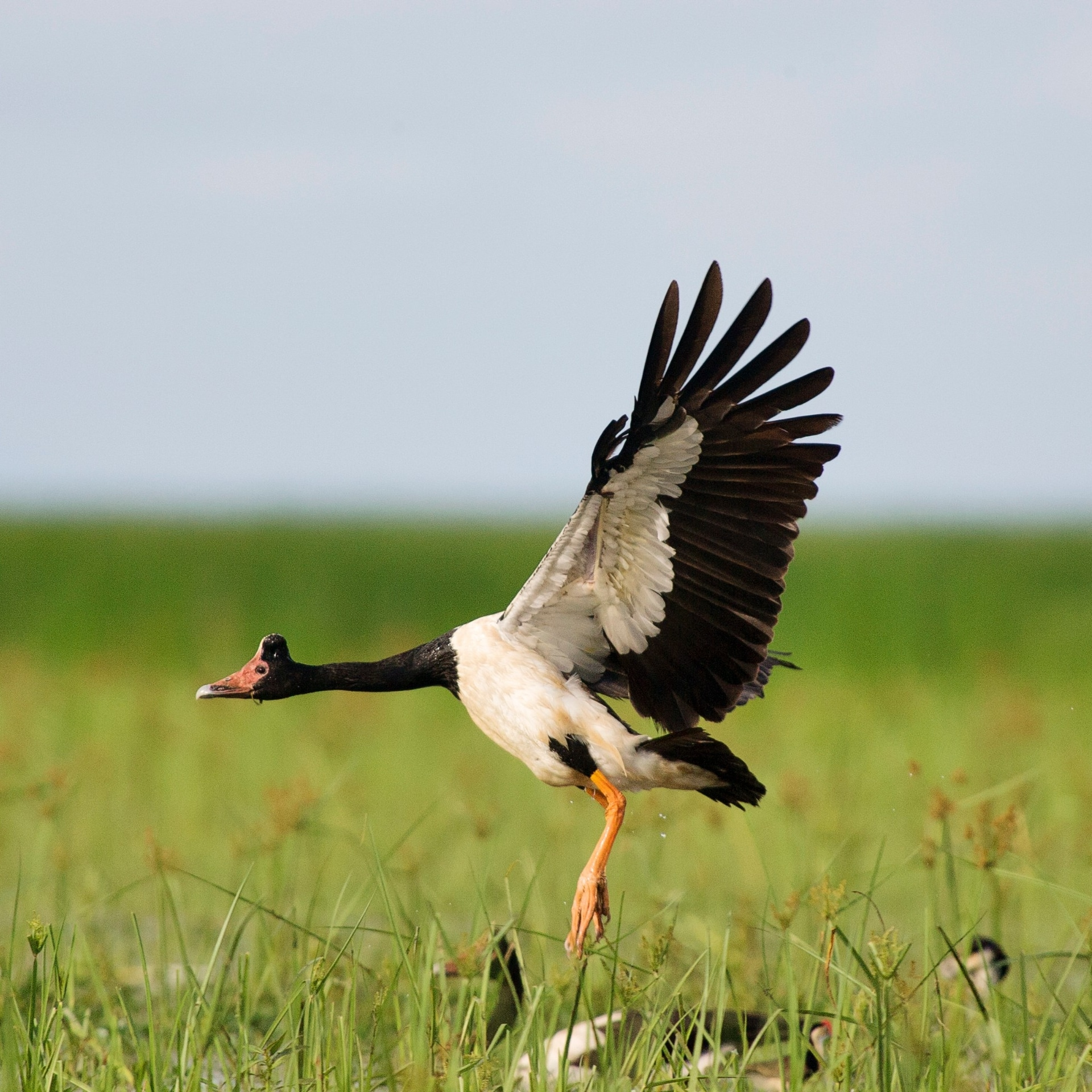 A magpie goose flying above wetlands in Bamurru Plains © Bamurru Plains
