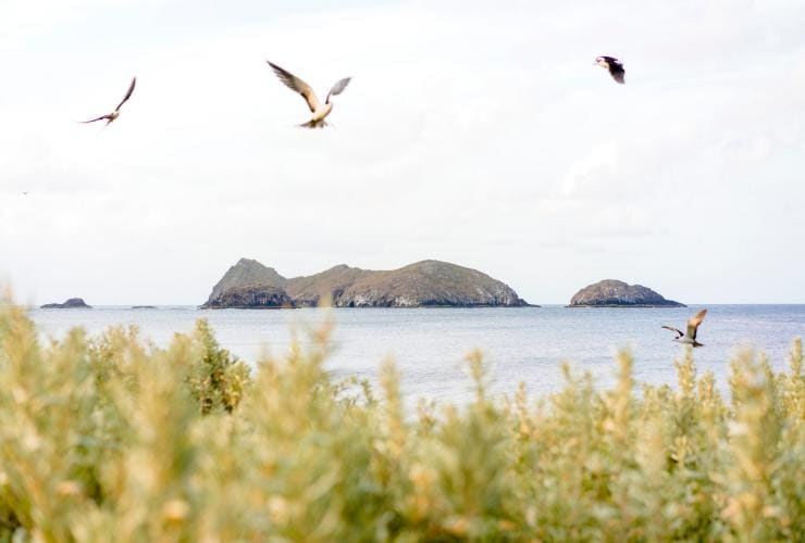 Sooty Terns flying over Lord Howe Island with views across to the Admiralty Islands © Zach Sanders