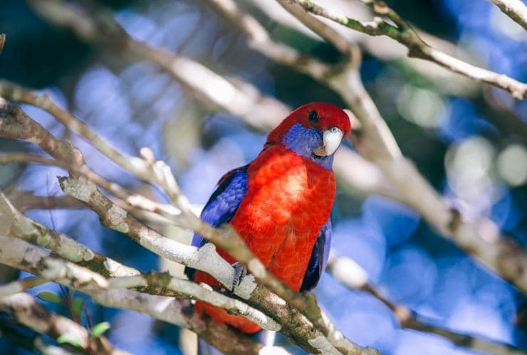King Parrot on a brance in Lamington National Park © Tourism Australia