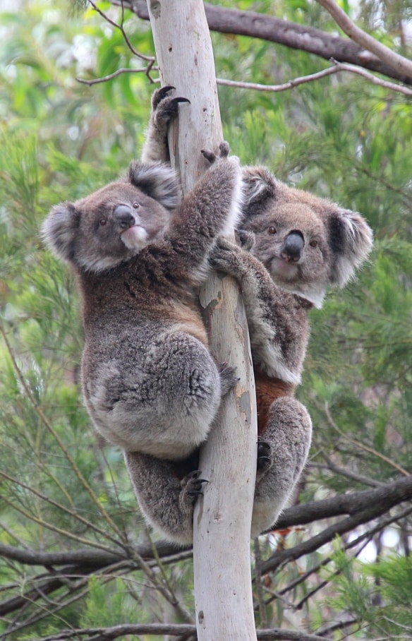 Koalas in a tree in the You Yangs Regional Park in Victoria © Koala Clancy Foundation