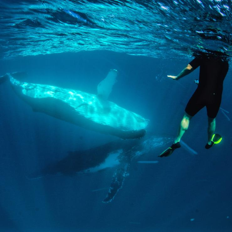 Swimmers with humpback whales at Ningaloo Marine Park © Exmouth Dive and Whalesharks Ningaloo