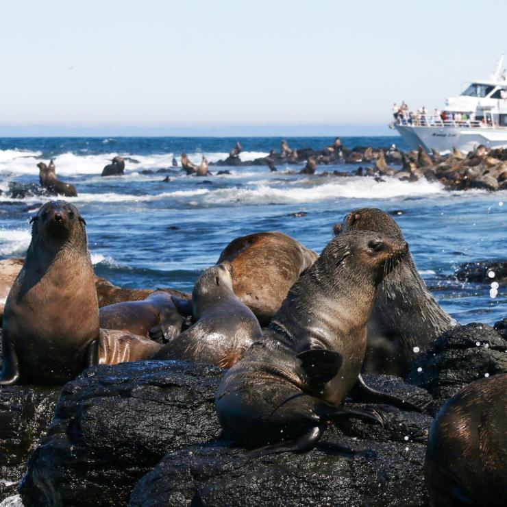 A boat viewing a colony of fur seals at Phillip Island © Wildlife Coast Cruises