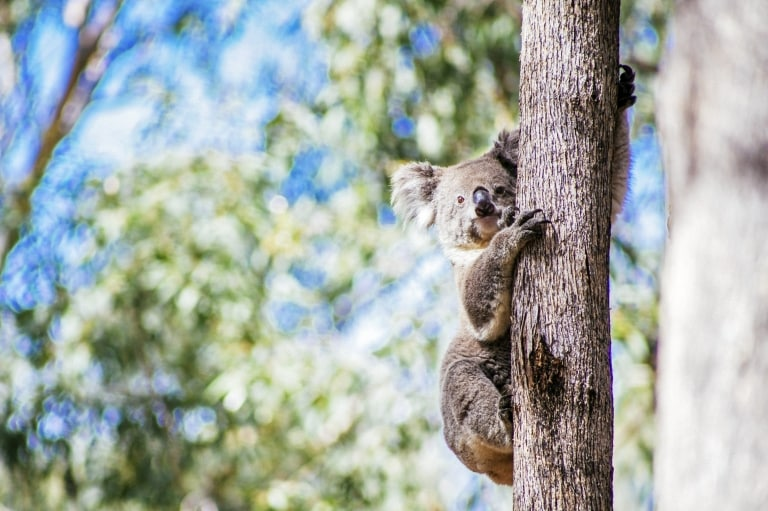 Koala at Taronga Western Plains Zoo, Dubbo, NSW © Tourism Australia