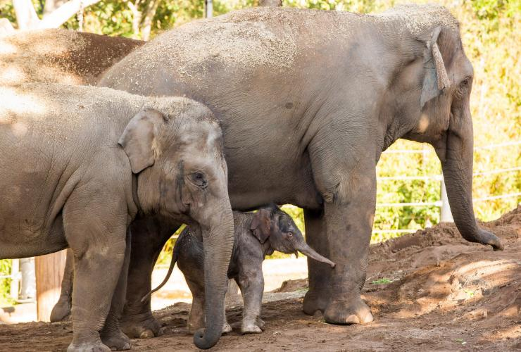 Baby elephant at Taronga Zoo, Sydney, NSW © Rick Stevens