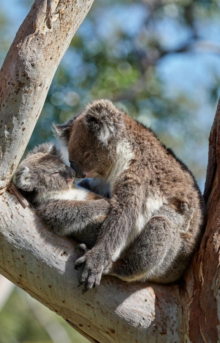 Koala, Mount Lofty, SA © George Papanicolaou