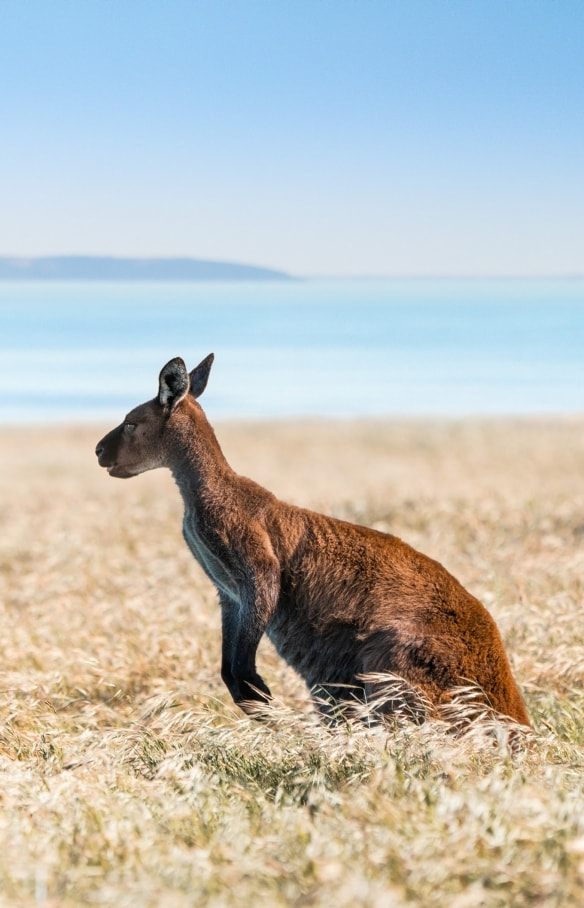Kangaroo in grassland on Kangaroo Island © South Australian Tourism Commission
