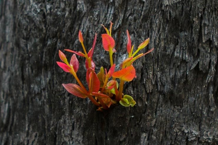 New growth on the side of a burnt tree in the Shoalhaven region © Shoalhaven City Council/Andy Zakeli