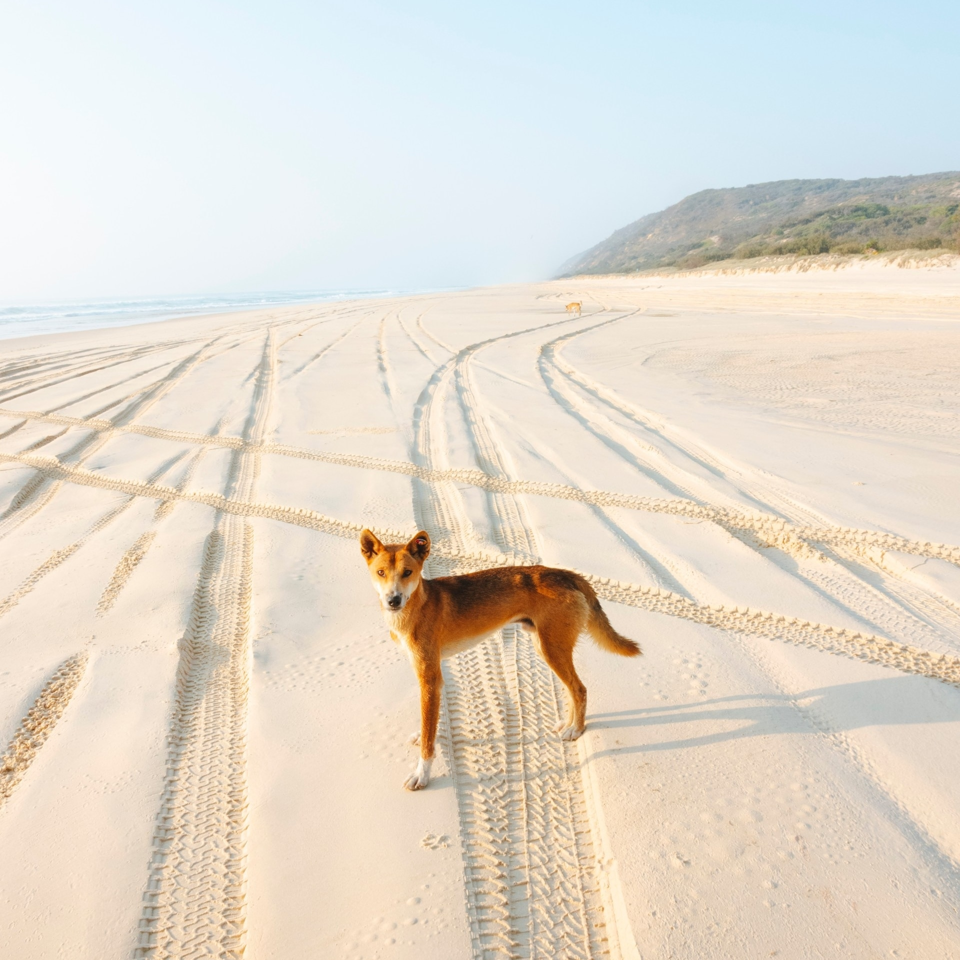 Dingo on the beach, Fraser Island, QLD © Tourism and Events Queensland