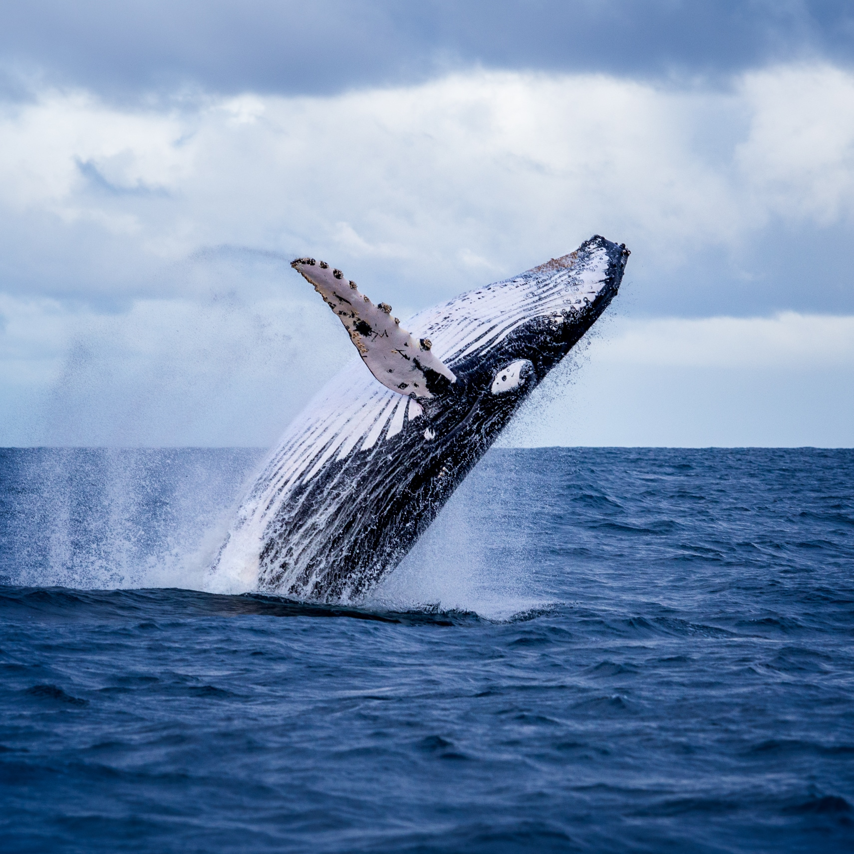 Humpback whale breaches in Jervis Bay © Dive Jervis Bay