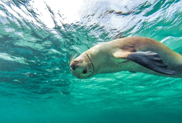 Sea lion, Eyre Peninsula, SA © South Australian Tourism Commission