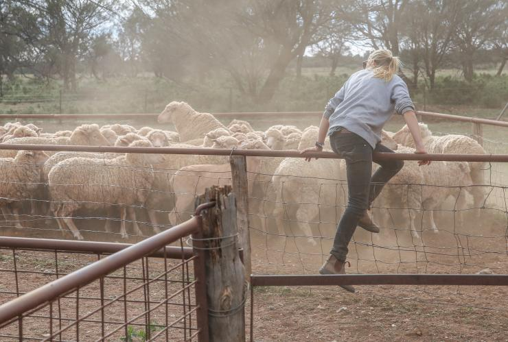 Sheep wrangler, Bendleby Ranges, SA © Tourism Australia