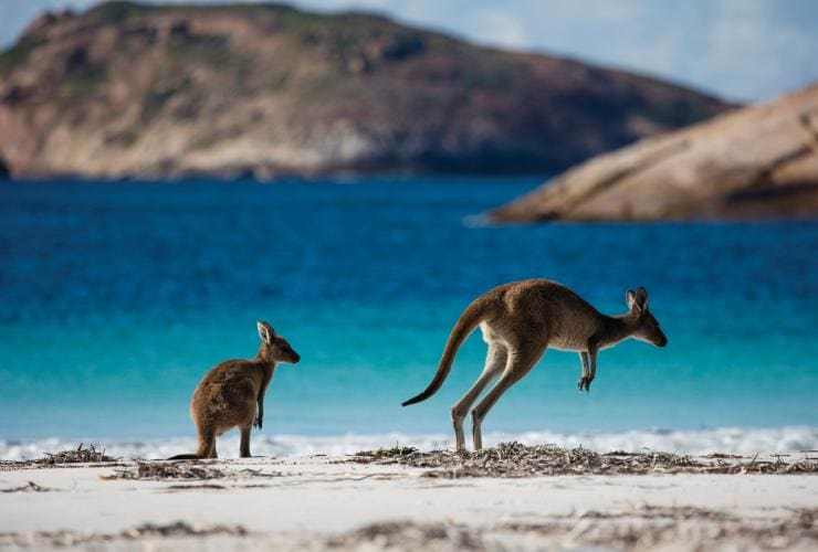 Kangourous, Lucky Bay, Cape Le Grand National Park, WA © Sean Scott