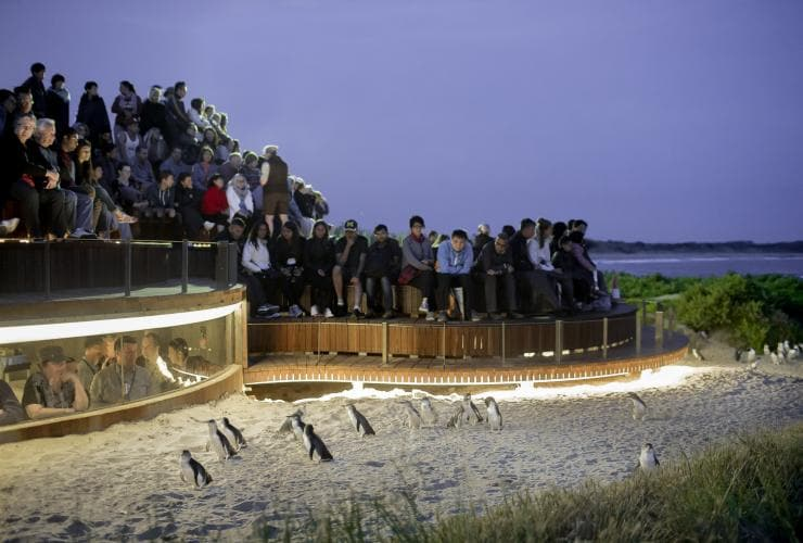 Penguin Parade, Phillip Island, VIC © Phillip Island Nature Parks