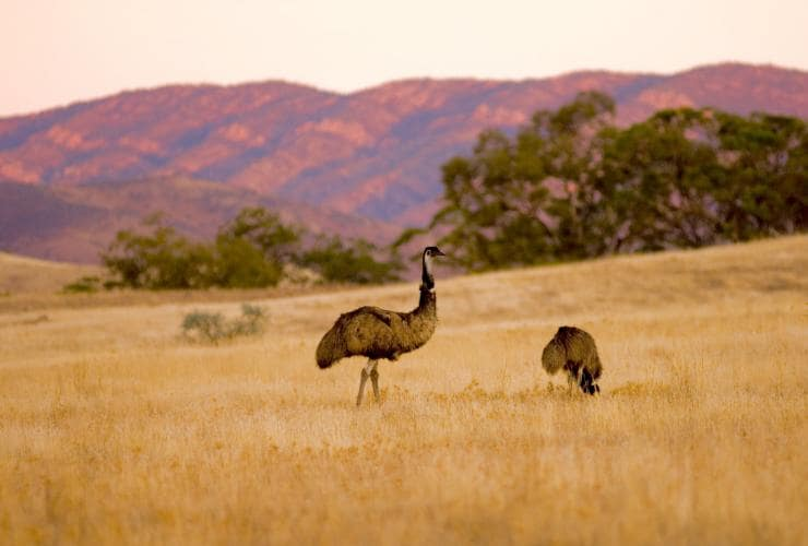 Émeus, Arkaba, Flinders Ranges, SA © Wild Bush Luxury