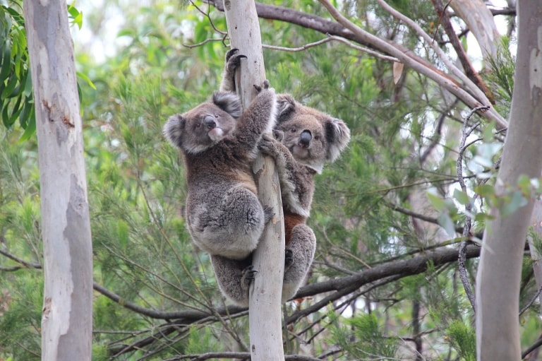 Koalas dans un arbre du You Yangs Regional Park © Koala Clancy Foundation