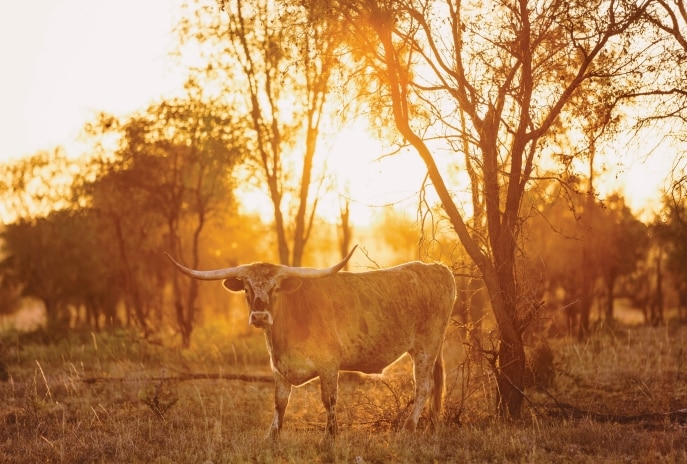 Texas longhorn cattle, Charters Towers, QLD. © Melissa Findley/Tourism and Events Queensland