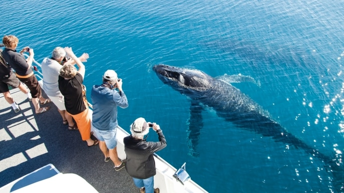 Observation des baleines, Hervey Bay, QLD © Matthew Taylor, Tourism and Events Queensland