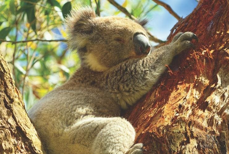 Koala, Magnetic Island, au large de Townsville, Grande Barrière de Corail, QLD © Tourism and Events Queensland