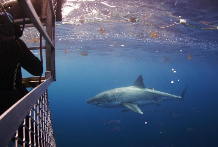 Plongée en cage parmi les requins, Adventure Bay Charters, Port Lincoln, SA © Adventure Bay Charters