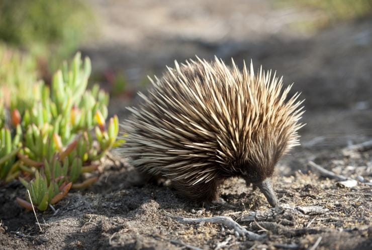 Echidna, Kangaroo Island, SA © South Australian Tourism Commission