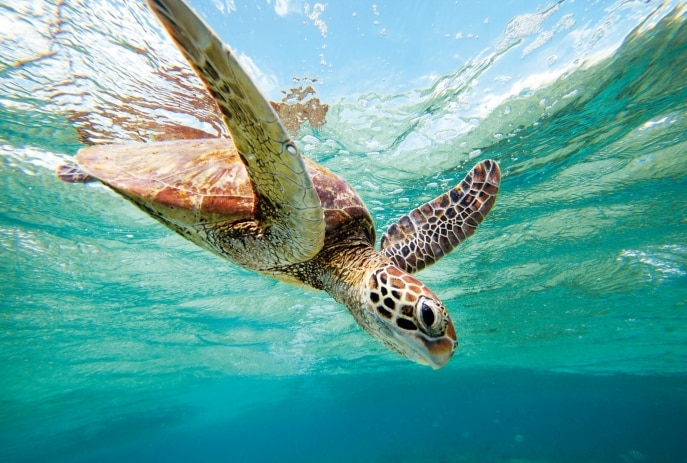 Green sea turtle, Lady Elliot Island, QLD © Tourism and Events Queensland