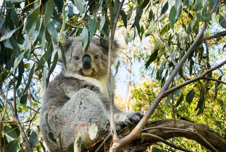 Koala at Koala Conservation Centre, Phillip Island, VIC © Visit Victoria
