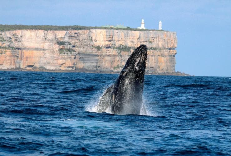 Humpback whale, Point Perpendicular, Jervis Bay, NSW © Destination NSW
