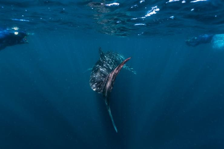 Whale shark swimming at Ningaloo Reef © Tourism Western Australia