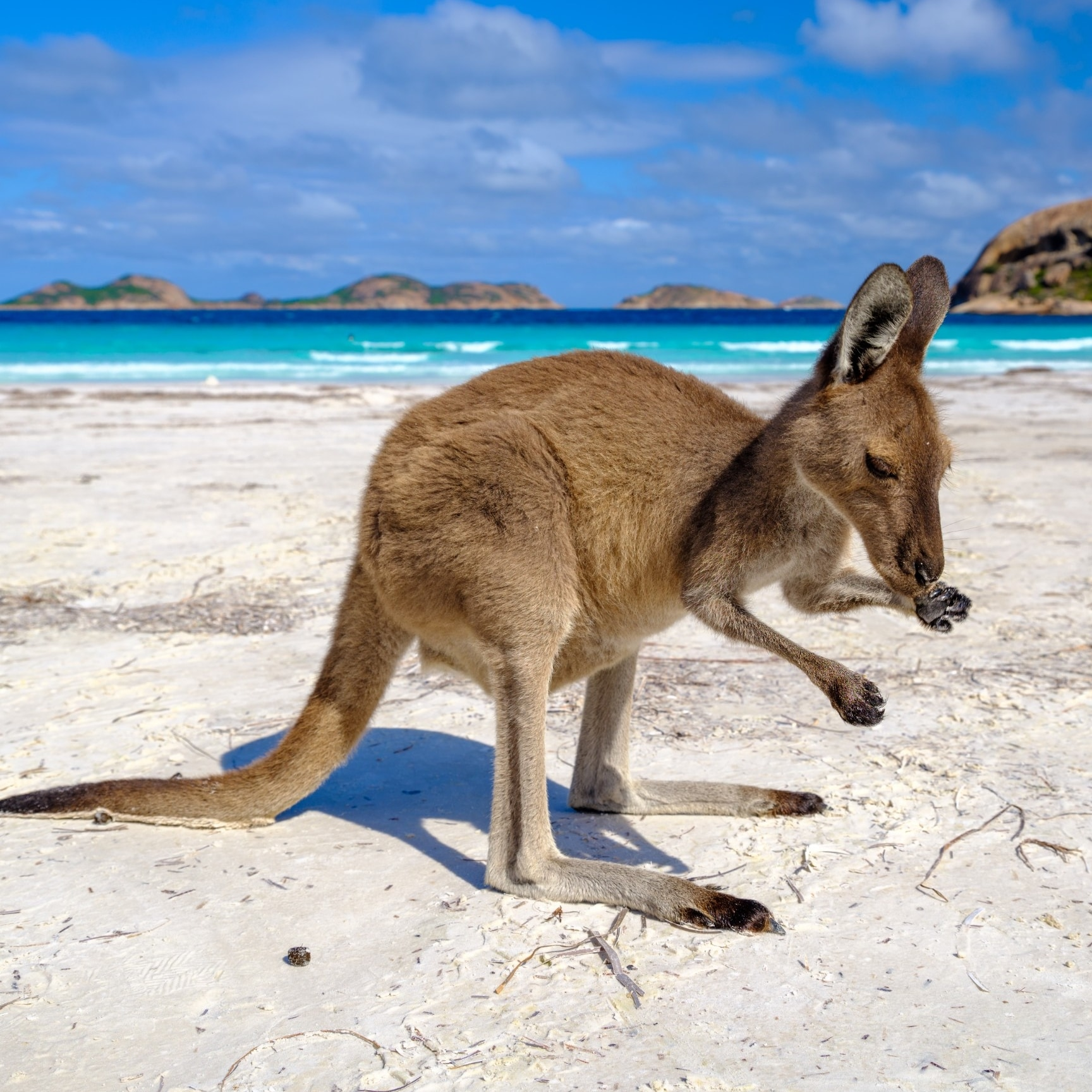Kangaroo di Lucky Bay, Cape Le Grand National Park © Tourism Western Australia