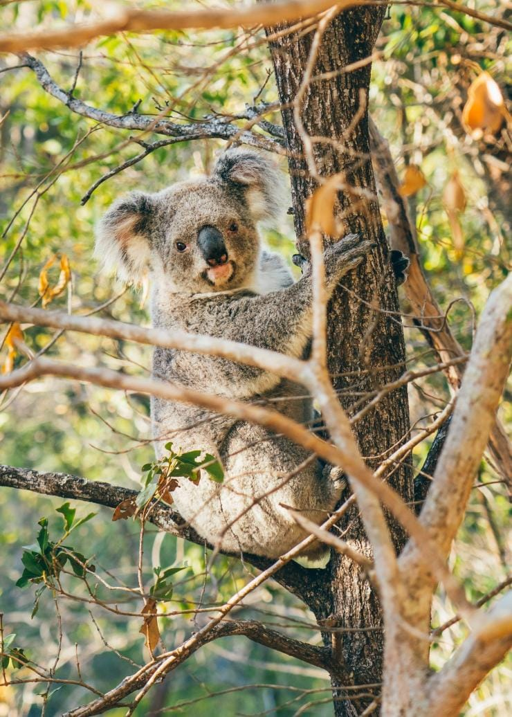 Koala di pepohonan di Magnetic Island © Tourism and Events Queensland