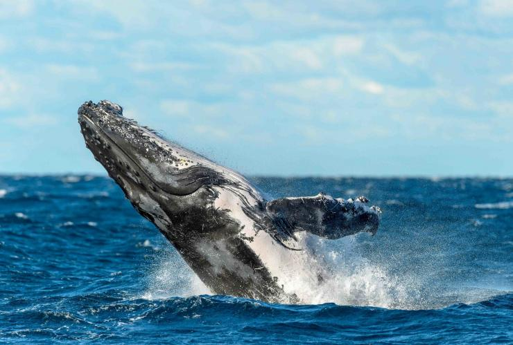 Megattera, Sydney, New South Wales © Trevor Scouten & Oz Whale Watching