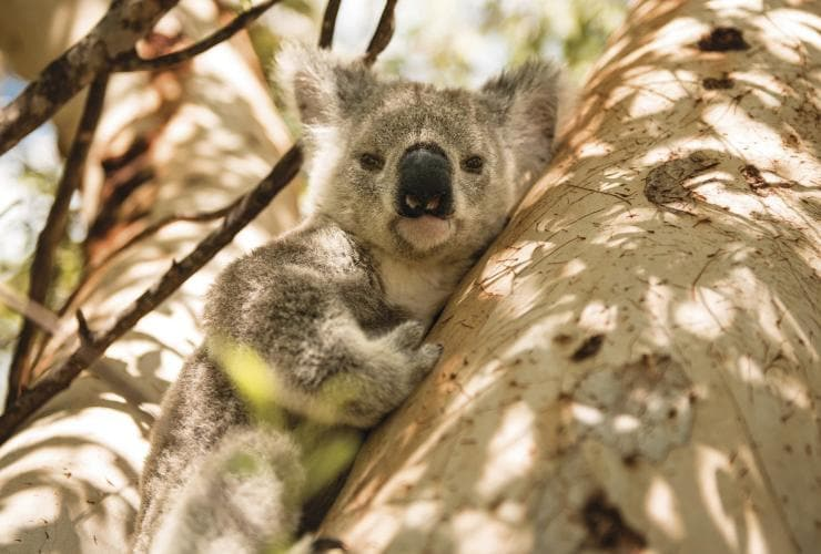 Koala, Magnetic Island, Queensland © Tourism and Events Queensland, Khy Orchard
