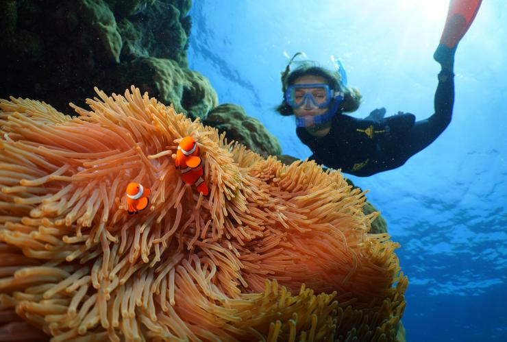 Pesce pagliaccio in un anemone, Grande Barriera Corallina, Queensland © Tourism and Events Queensland
