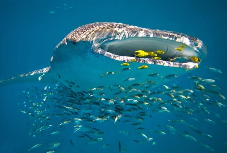 Squalo balena, Ningaloo Reef, Western Australia © Luxury Lodges of Australia