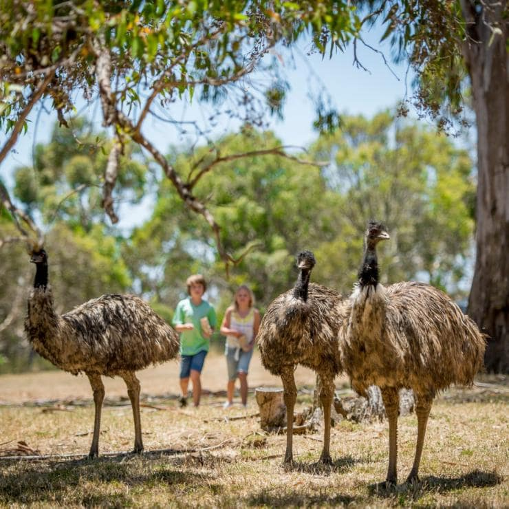 Bambini che camminano a fianco di un emù al Cleland Wildlife Park © South Australian Tourism Commission/Adam Bruzzone
