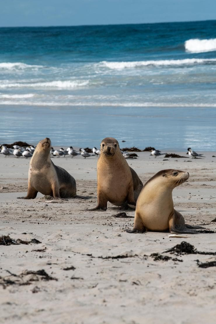 Seal Bay, Kangaroo Island, South Australia © Tourism Australia