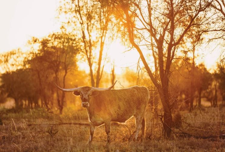 Texas longhorn cattle, Charters Towers, Queensland © Melissa Findley/Tourism and Events Queensland