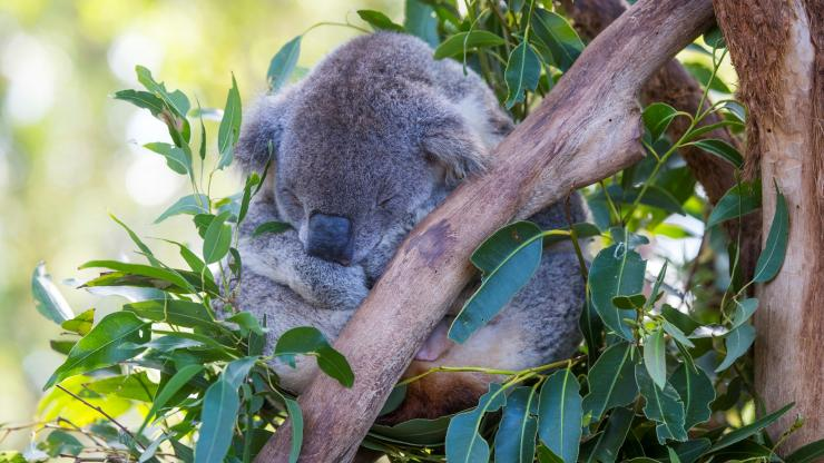 Koala Hospital, Port Macquarie, New South Wales © Destination NSW