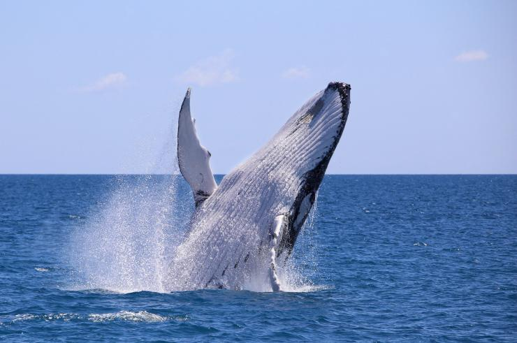 Humpback Whale, Fraser Island © Tourism and Events Queensland
