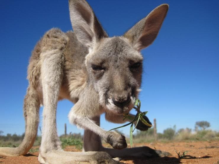 Kangaroo holding leaf, the Kangaroo Sanctuary, Alice Springs, Northern Territory © The Kangaroo Sanctuary
